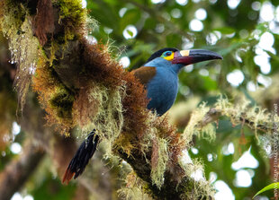 Plate-Billed Mountain Toucan in the Choco-Andes of Ecuador