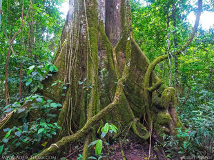 Huge Butress Roots of Lowland Amazon tree