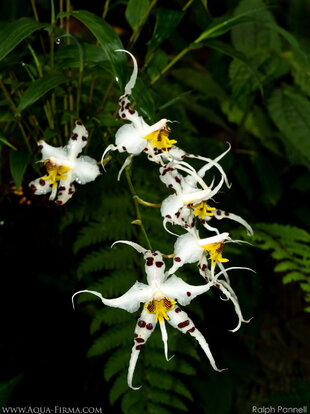 Orchids in the Choco-Andes Cloud Forest