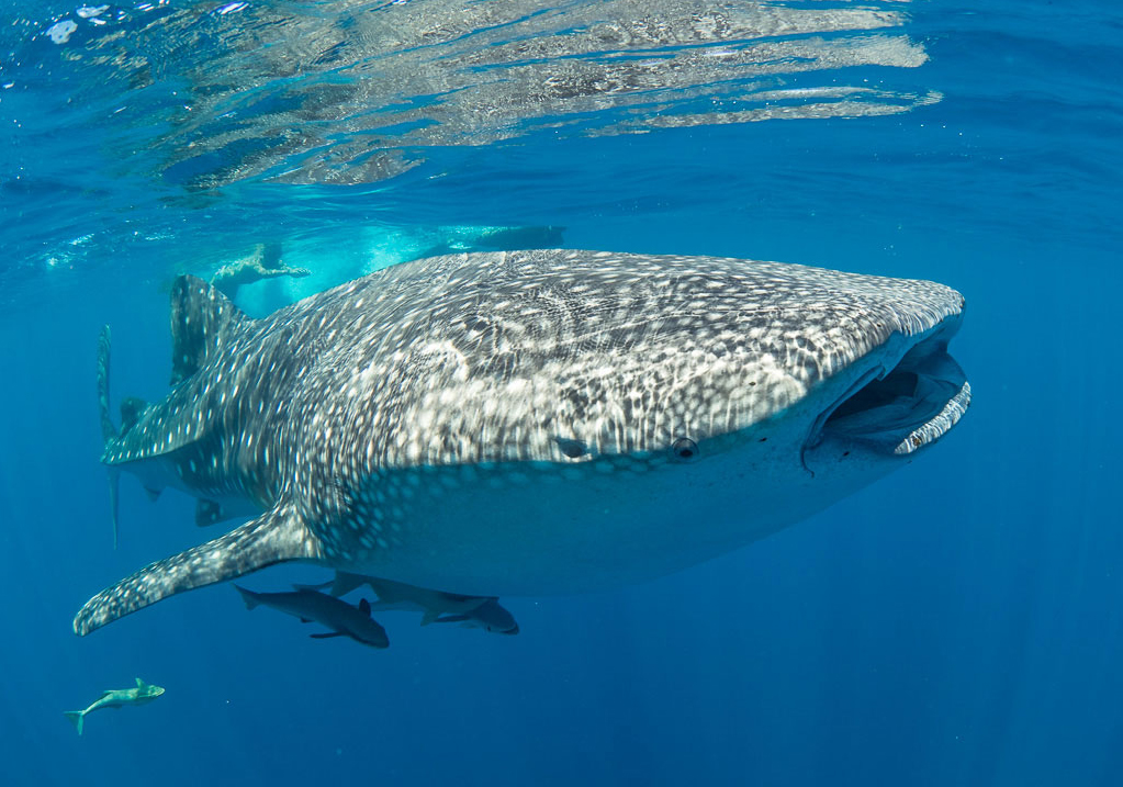 Whale Shark in Nosy Be