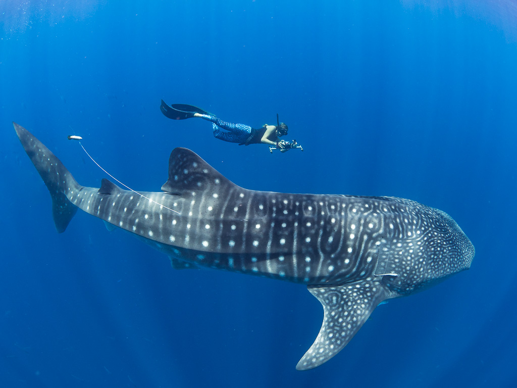Whale Shark with Researcher - Dr Simon Pierce
