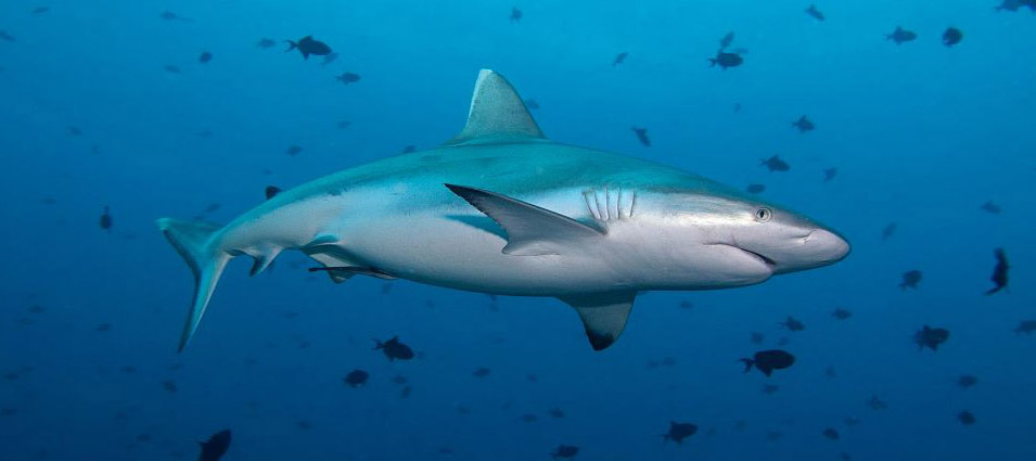 Maldives Dive Liveaboard in Search of Sharks central atolls