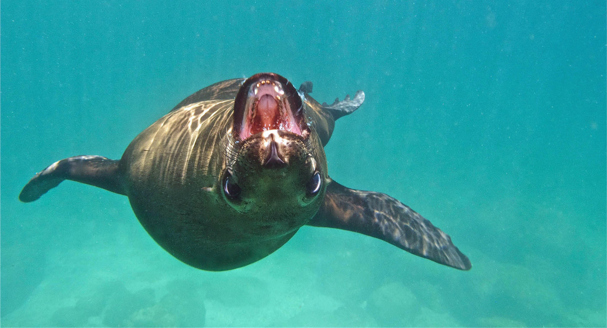 Playful Sea Lion in Sea of Cortez - Keith & Ginny Birrell