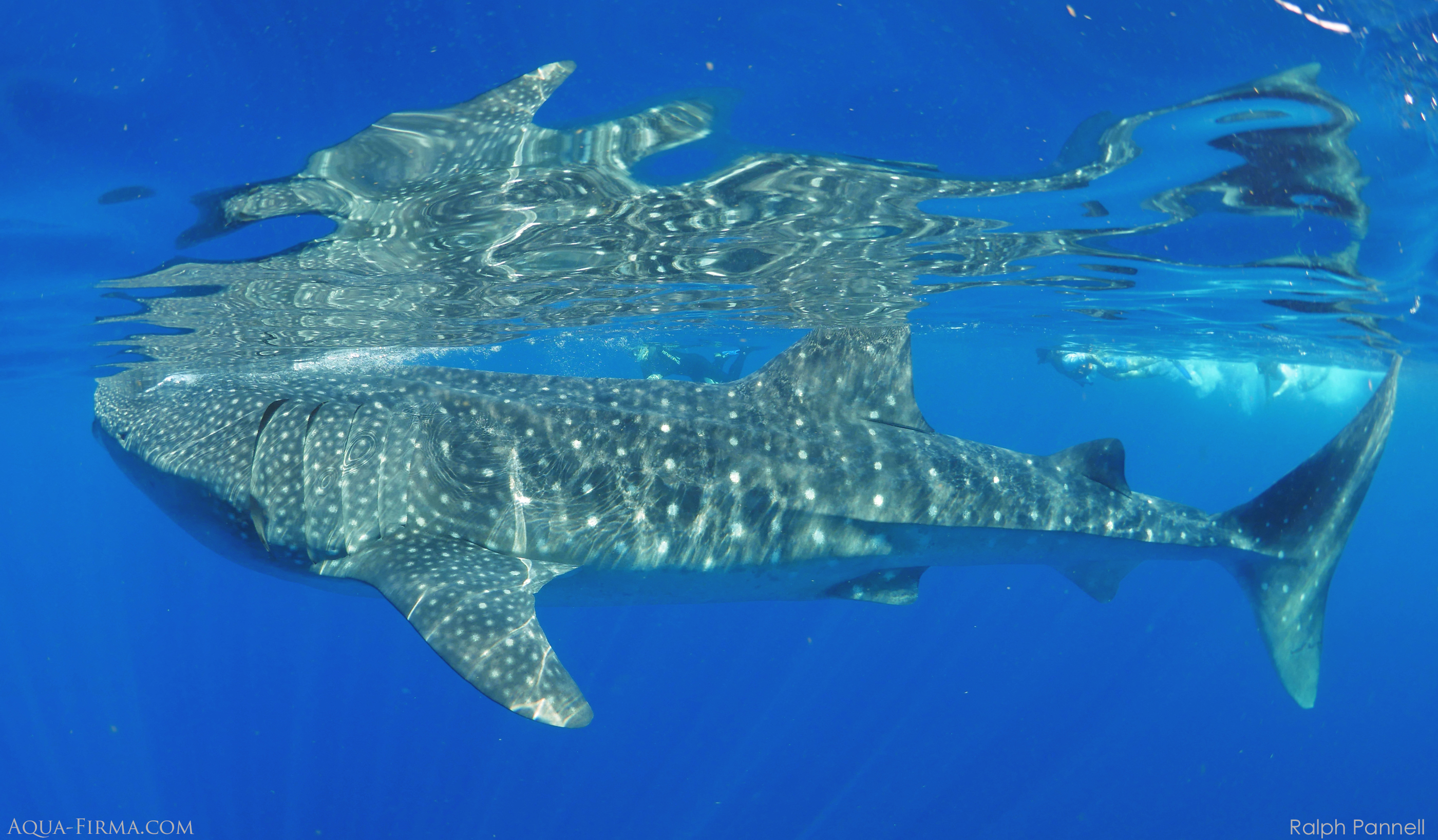 Swim Snorkel Dive  with Whale Shark Mexico Isla Mujeres Cancun afuera