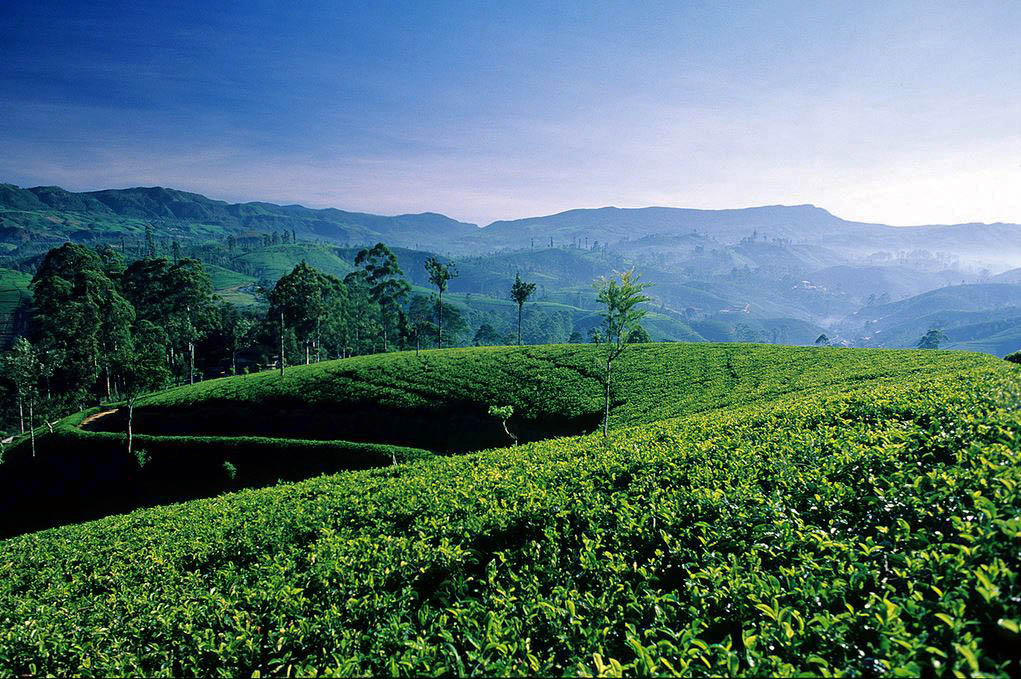 Tea Plantations in Nuwara Eliya