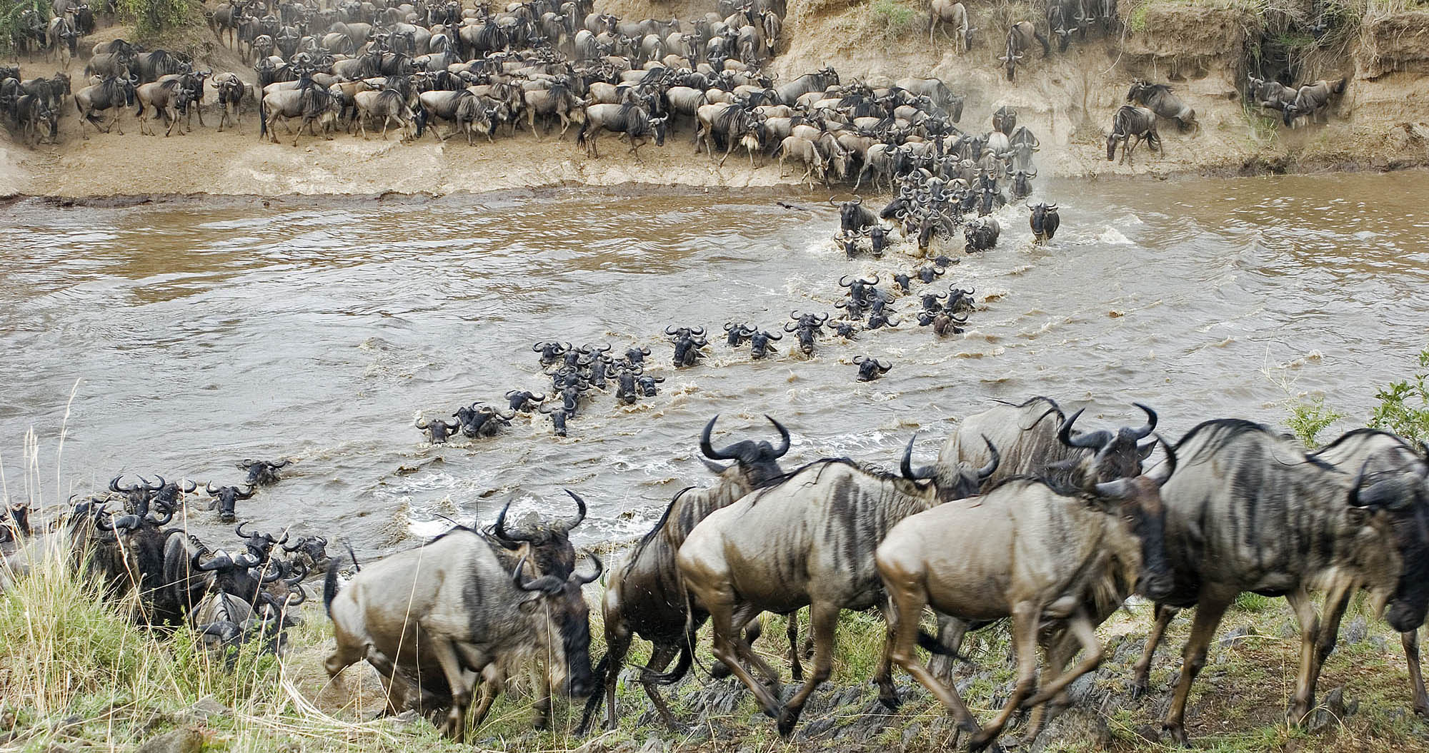 Wildebeest on their Great Migration Route