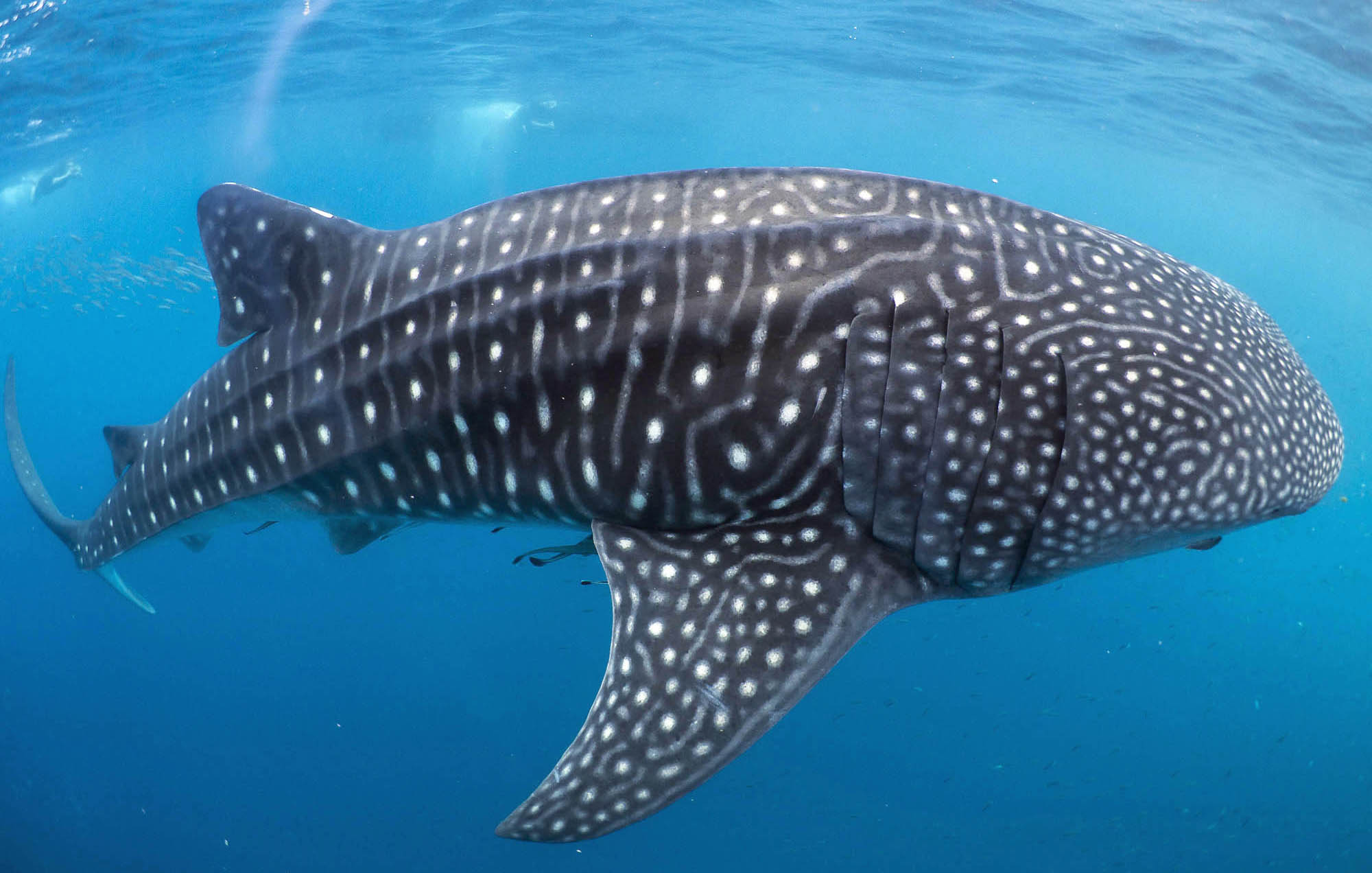 Snorkelling with Whale Sharks in Mafia Island - Dr Simon Pierce